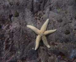 """Five Star"" Starfish underwater shot"