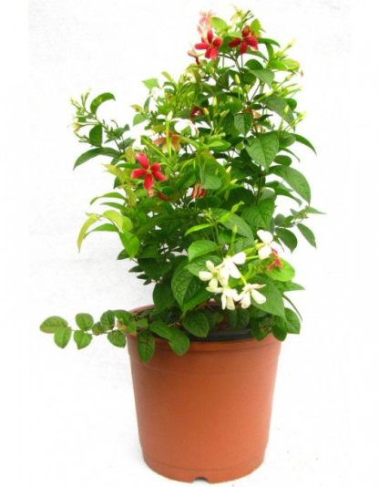 Madhumalti Plants
