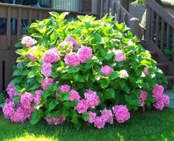 Pink Hydrangea Plants