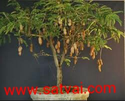 Sweet Tamarind Tree Hybrid