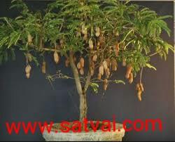 Sweet Tamarind Tree Hybrid