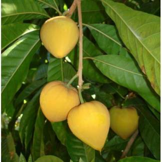Egg Fruit Plant