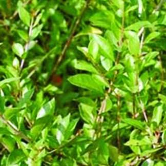 Mehedi Pata Plant