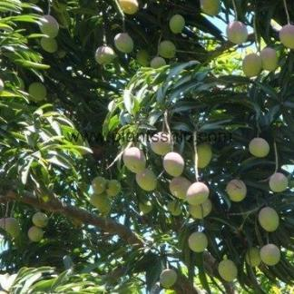 Gouromati Mango