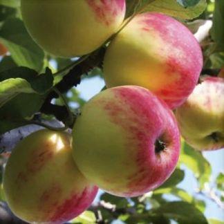 apple tree plant