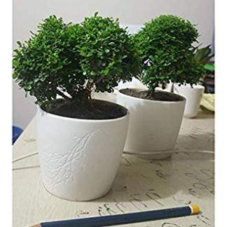 kamini bonsai