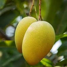 mallika mango plant