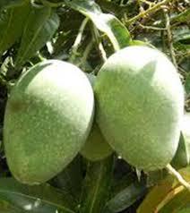 gopal bhog mango