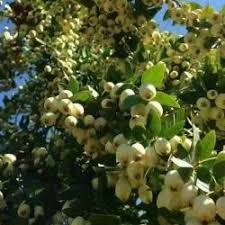 Chinese Guava Tree