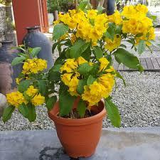 gori chori flower