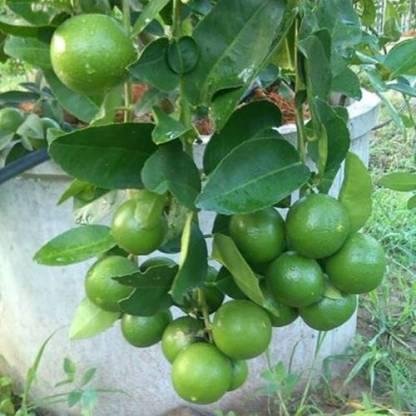 Hajari-Lemon