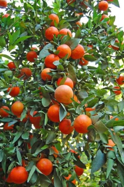 china sweet orange