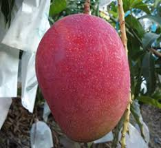 Egg of the sun mango