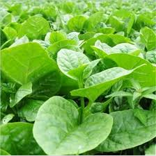 Pui Shak Seeds