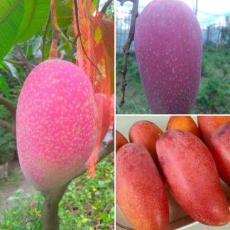 Chiyangmai Mango Tree