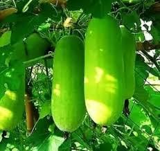 Chal Kumra Seeds