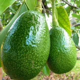 Avocado Grafting Plant