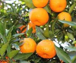 Darjeeling Orange Fruit Plant