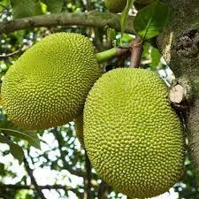 Seedless Jackfruit Plant