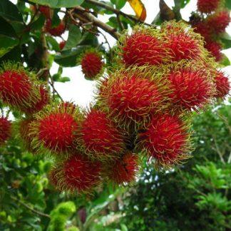Rambutan Grafting Plant