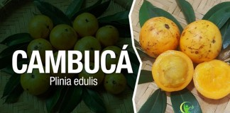 beneficios do cambuca