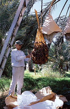 Robert Lower of the Flying Disk Ranch unwraps clusters of barhi dates prior to harvesting. The wrappings fend off insects, birds and dust.