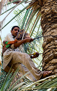 Date palm workers in Saudi Arabia generally use a climbing harness, not a ladder.