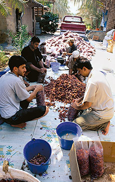 Workers in al-Mutairfi wash and sort khlas dates according to color, size and condition. The entire crop from premier producers is pre-sold to wholesalers in the kingdom and Gulf countries.