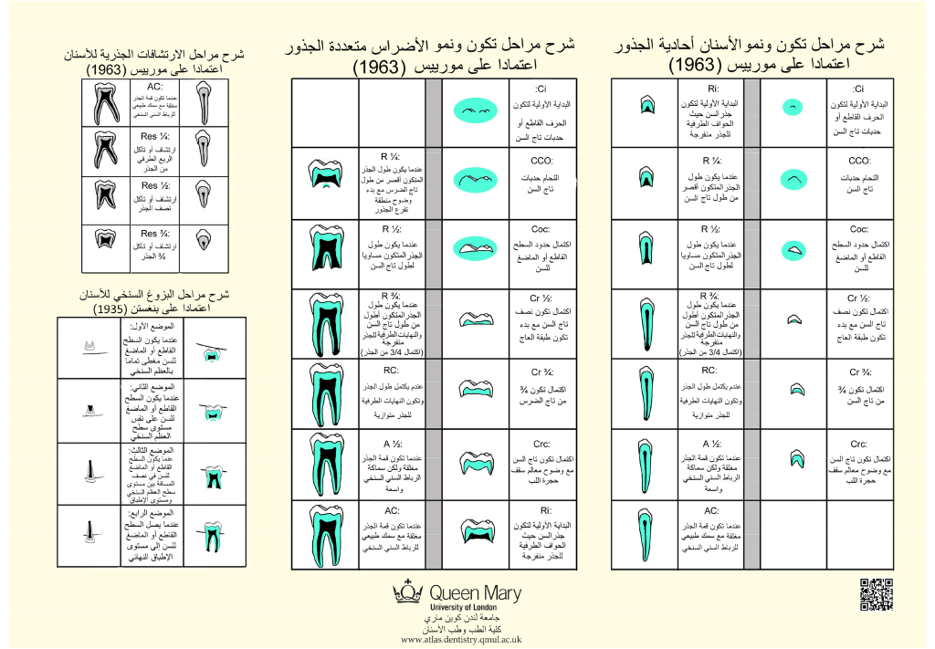 atlas_of_tooth_development_in_Arabic-2