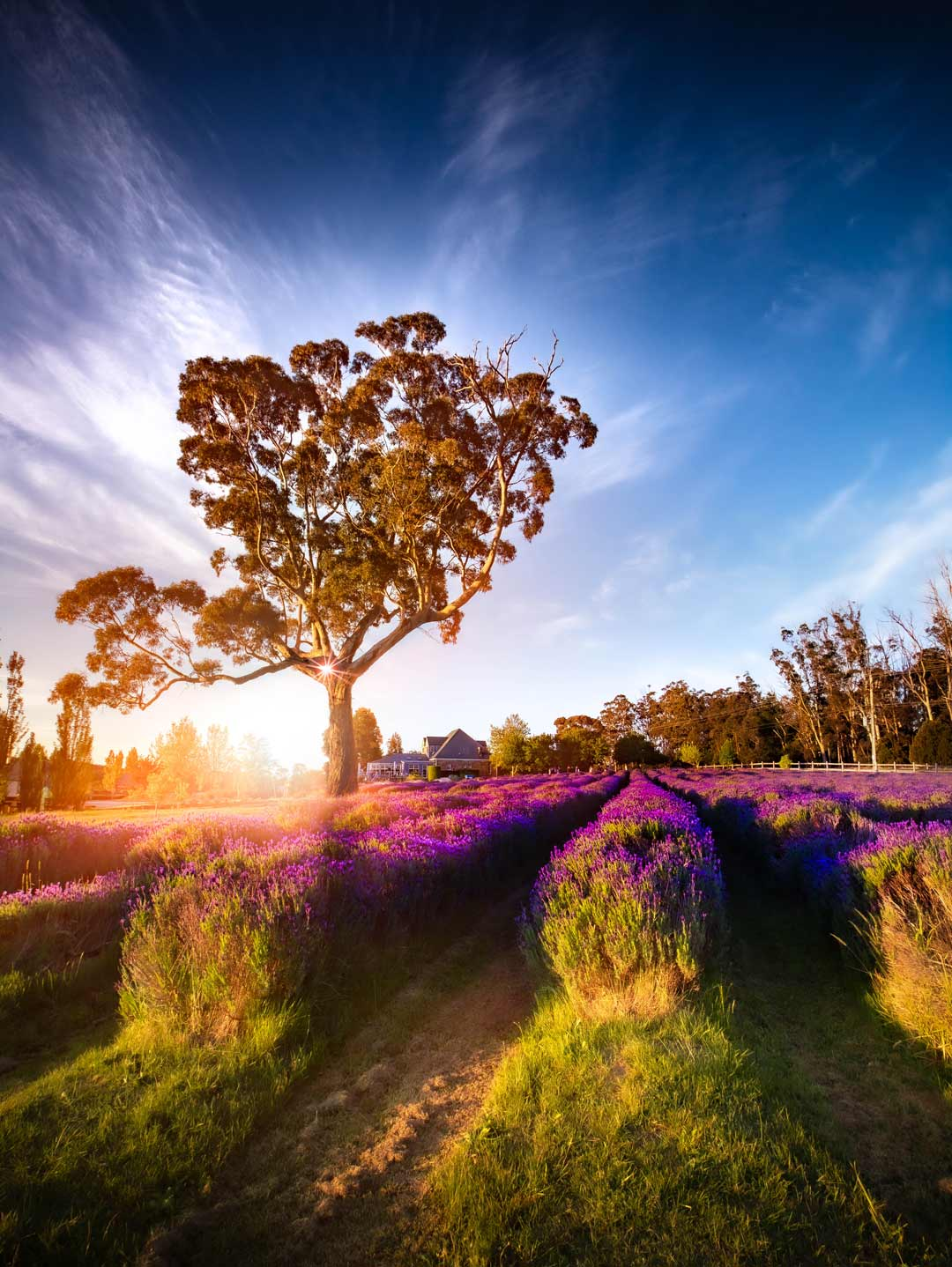 Beautiful Lavender field shot by Jarrod Andrews (JROD Captures) at Sault Restaurant Daylesford