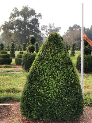 Boxwood Topiary Pyramid 4 Green Mountain 4248quot H from