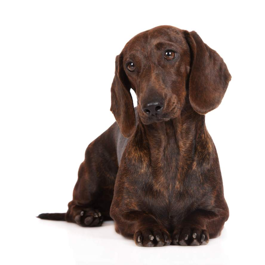 Brindle Dachshund - Welcome to the sausage dog world