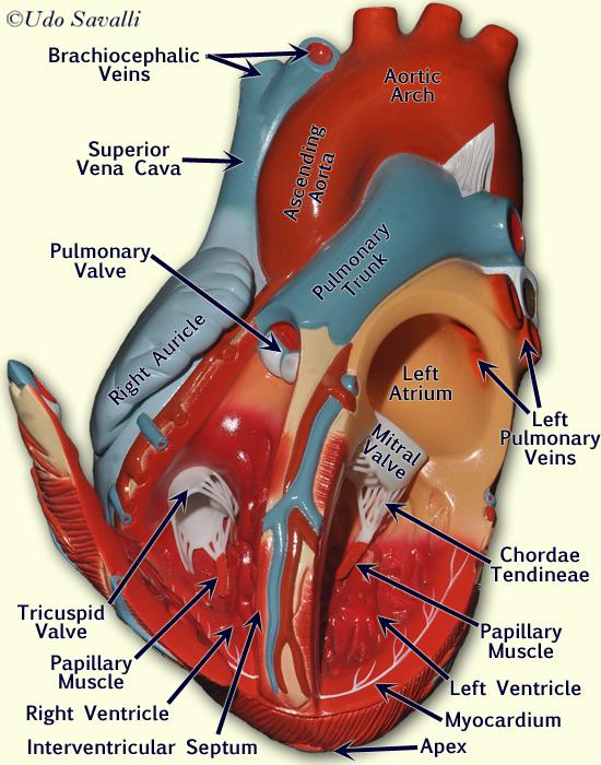 anterior heart diagram unlabeled 2005 ford ranger wiring bio202 model return to images