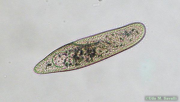 Caudatum Labeled Microscope Paramecium Under