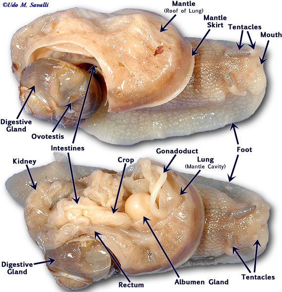 mollusca diagram labeled story of an hour plot bio385 see also photo