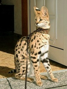 Serval by Savannah Cat