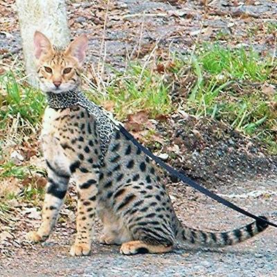 Savannah Katze Faq Alles Uber Die Rasse Savannah Katze Und Kitten