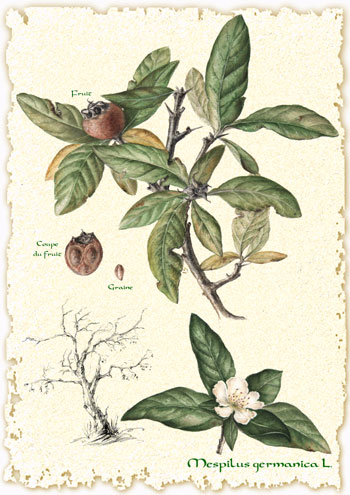 Mespilus germanica-medlar