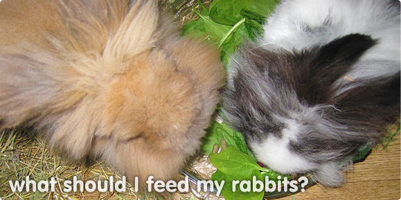 What Do Rabbits Eat What Should I Feed My Bunny