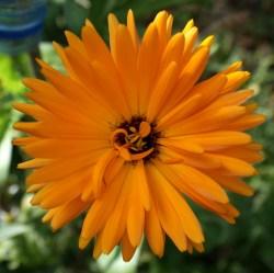 fleurs comestibles save eat