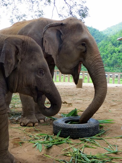 Hansa and her mom Mae Pon enjoy a stuffed tire. We never put tires in a shelter with young elephants overnight.