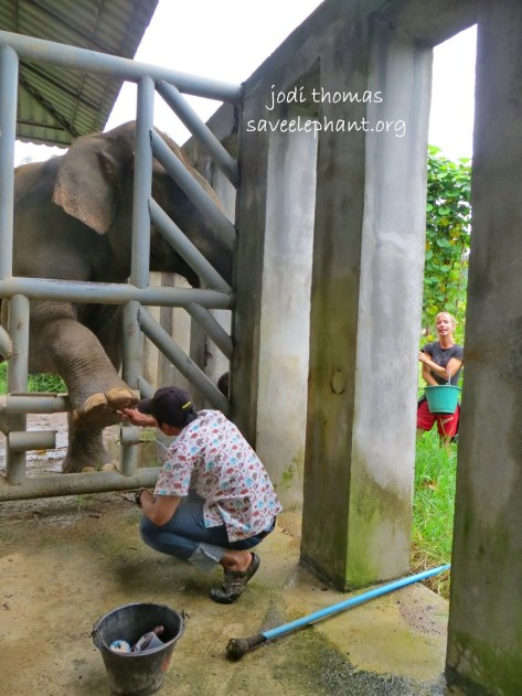 Thanks to positive reinforcement training, HOPE our bull in musth can have his feet worked on safely.