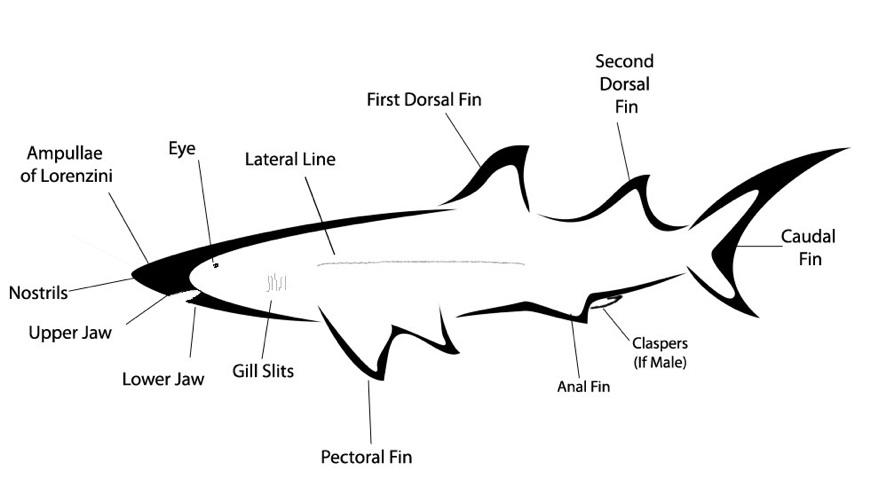 Shark Anatomy External