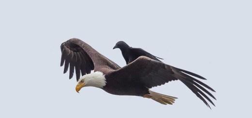 gagak di atas burung elang