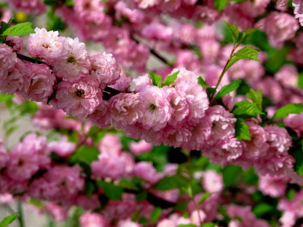 Photograph-Nature-Flowers-Pink-Cherry-Blossoms-Sakura