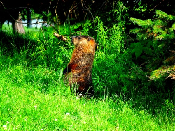 Photograph-Travel-Montreal-Quebec-Canada-Groundhog