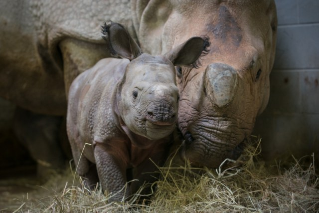 http://www.zooborns.com/zooborns/2016/11/baby-rhino-snuggles-with-mom-at-the-wilds.html