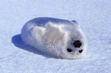 cute-seal-white-snow-baby-arctic