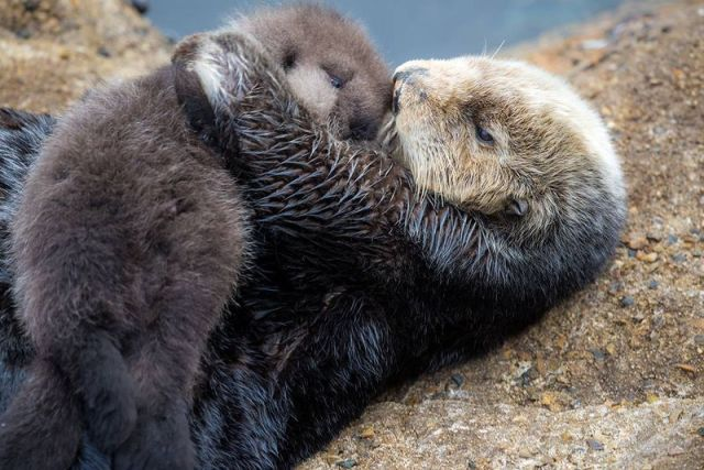 mommy-and-baby-parenting-otter-wild-zoo_4