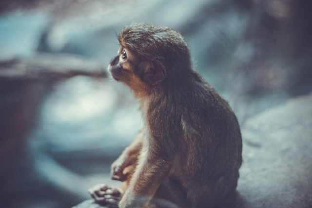 monkey-dream-animal-nature-world